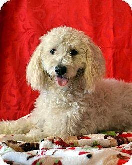 Bichon Frise Mix Dog for adoption in Okeechobee, Florida - Snuggles