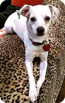 Jack Russell Terrier/Whippet Mix Dog for adoption in Boulder, Colorado - Chico
