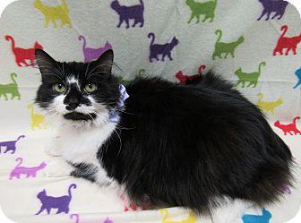 Domestic Longhair Cat for adoption in Lexington, North Carolina - PRETTY GIRL