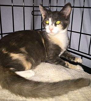 Calico Kitten for adoption in Monrovia, California - Skye