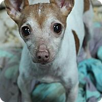 Adopt A Pet :: Caramel - Macomb, IL