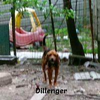 Adopt A Pet :: DILLINGER - Malvern, AR