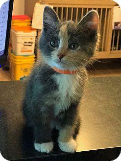 Domestic Mediumhair Kitten for adoption in Hanna City, Illinois - Bindi-adoption pending