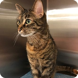 Domestic Shorthair Cat for adoption in Arlington/Ft Worth, Texas - Maeve