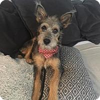 Adopt A Pet :: 'MOLLY' - Agoura Hills, CA