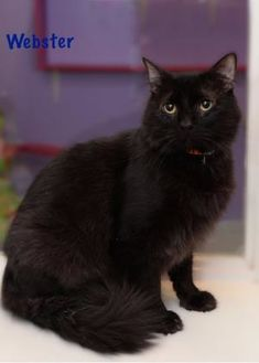 Domestic Mediumhair/Domestic Shorthair Mix Cat for adoption in Baton Rouge, Louisiana - Webster