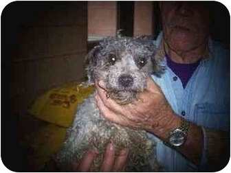 Poodle (Miniature) Mix Dog for adoption in Baltimore, Maryland - Bosco