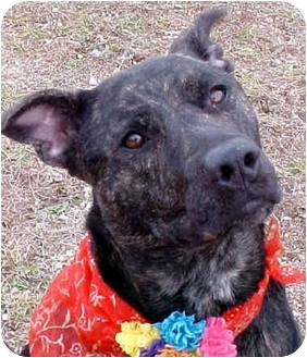 Pit Bull Terrier Mix Dog for adoption in Huntington, New York - Bella