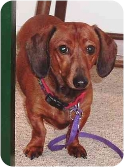 Dachshund Dog for adoption in Osseo, Minnesota - Zoey