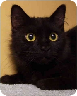 Domestic Mediumhair Cat for adoption in Bloomingdale, New Jersey - Naomi