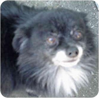 Pomeranian Mix Dog for adoption in Spring Valley, California - NIGEL
