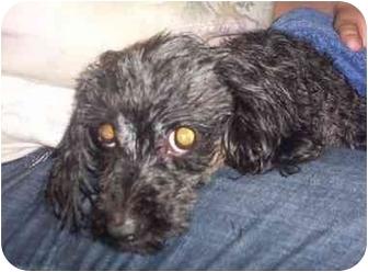 Shih Tzu/Poodle (Miniature) Mix Dog for adoption in Hammonton, New Jersey - Paris