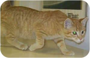 Domestic Shorthair Kitten for adoption in Murphysboro, Illinois - Hobbes