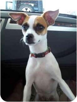 Chihuahua Puppy for adoption in Flint, Michigan - Kita