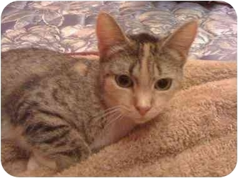 Domestic Shorthair Cat for adoption in Worcester, Massachusetts - Muffin