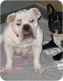 English Bulldog Dog for adoption in Winder, Georgia - Stormie
