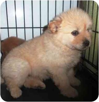German Shepherd Dog/Labrador Retriever Mix Puppy for adoption in Morehead City, North Carolina - Butter