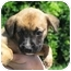Photo 1 - Boxer Mix Puppy for adoption in Atkins, Arkansas - FAWKES