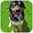 Photo 1 - Bernese Mountain Dog Dog for adoption in San Clemente, California - KENNY