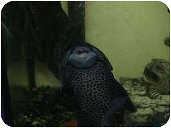 Fish for adoption in North Pole, Alaska - Aquarium Fish