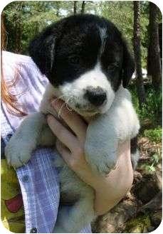 Border Collie Mix Puppy for adoption in Spring Valley, New York - Oreoooooo