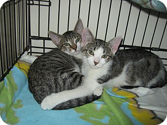 Domestic Shorthair Kitten for adoption in Hamilton, New Jersey - STONEY & BRIDGET