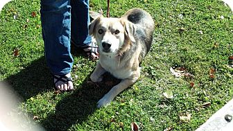 Shepherd (Unknown Type) Mix Dog for adoption in Roslyn, Washington - Shilo