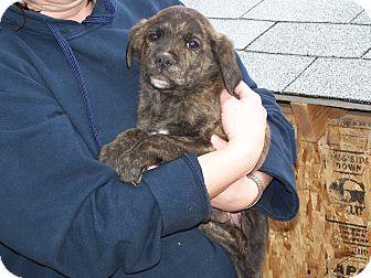 Labrador Retriever Mix Puppy for adoption in Warsaw, Indiana - Sheldon