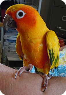Conure for adoption in Hubertus, Wisconsin - Spike