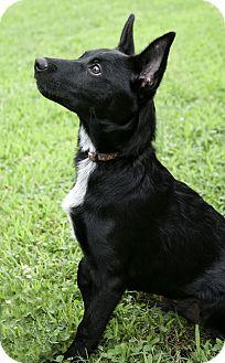 Labrador Retriever/Blue Heeler Mix Puppy for adoption in Clarksville, Tennessee - Penga