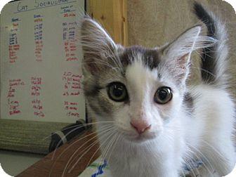 Domestic Mediumhair Kitten for adoption in Lloydminster, Alberta - Minny