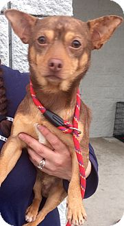 Chihuahua Mix Dog for adoption in Mount Pleasant, South Carolina - Gibby
