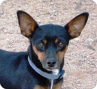 Dachshund/Chihuahua Mix Dog for adoption in Las Cruces, New Mexico - Clyde