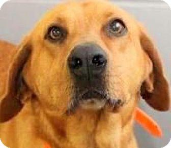 "Labrador Retriever/Golden Retriever Mix Dog for adoption in Winchester, Kentucky - JO JO(OUR ""GOLDEN BOY"" GENTLE!"