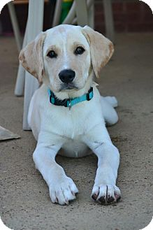 Labrador Retriever Mix Puppy for adoption in Hagerstown, Maryland - Duke