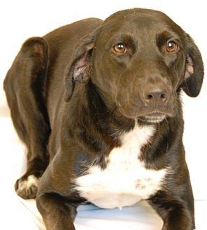Labrador Retriever/Border Collie Mix Dog for adoption in Newland, North Carolina - Katey