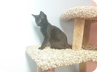 Domestic Shorthair Kitten for adoption in Chisholm, Minnesota - Jake