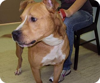 Pit Bull Terrier/Labrador Retriever Mix Dog for adoption in Mt. Vernon, Illinois - Dancer-rescue only