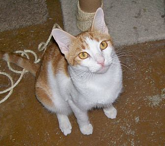 Domestic Shorthair Cat for adoption in Scottsdale, Arizona - Chloe