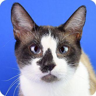 Snowshoe Cat for adoption in Carencro, Louisiana - Winston
