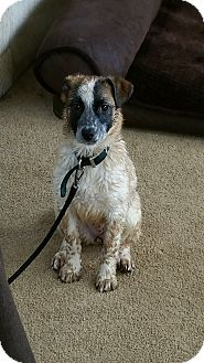 Cattle Dog/Terrier (Unknown Type, Small) Mix Dog for adoption in Gustine, California - CINNAMON