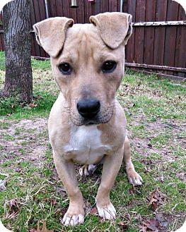 Basset Hound/Dachshund Mix Dog for adoption in McKinney, Texas - Max