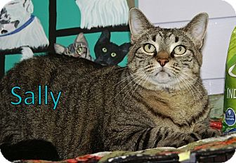American Shorthair Cat for adoption in Englewood, Florida - Sally
