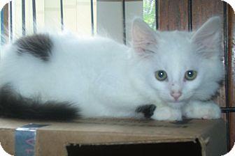 Domestic Mediumhair Kitten for adoption in Acme, Pennsylvania - ANDRE
