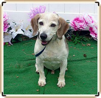 Beagle Dog for adoption in Marietta, Georgia - DUKE-reclaimed