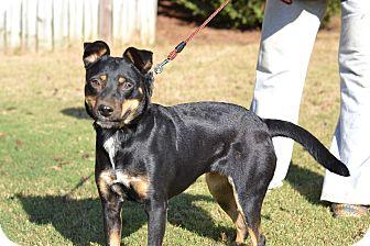 Miniature Pinscher/Dachshund Mix Dog for adoption in Acworth, Georgia - Millie