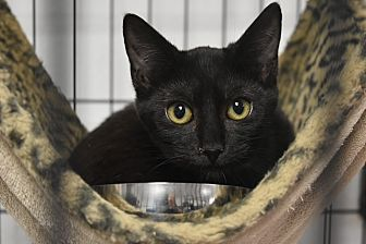 Domestic Shorthair Kitten for adoption in Miami Shores, Florida - Dot