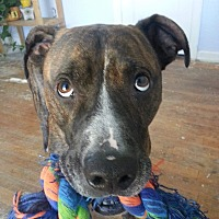 Mixed Breed (Large)/American Pit Bull Terrier Mix Dog for adoption in Shawnee, Oklahoma - ReMax
