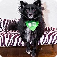 Adopt A Pet :: Stoli (Amputated leg) - Dallas, TX