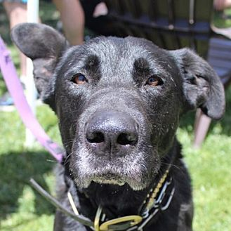 Labrador Retriever/Shepherd (Unknown Type) Mix Dog for adoption in San Diego, California - Beauty Girl